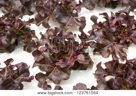 Young red oak cultivation hydroponic green vegetable in farm plant
