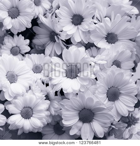 Bouquet of white chrysanthemum close up. Flowers background. Black and white