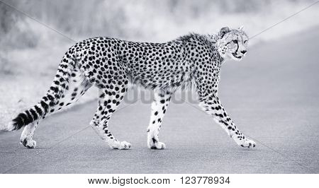 Lone cheetah walking across a road at dusk