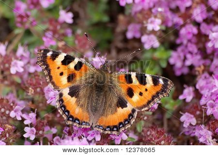 Small Tortoiseshell On Heather