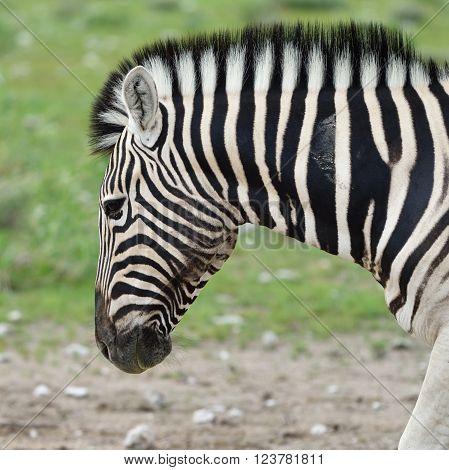 Damara zebra Equus burchelli Etosha national park Namibia ** Note: Soft Focus at 100%, best at smaller sizes