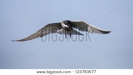 Whiskered tern in flight with open wings and red bill