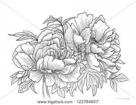 Beautiful hand drawn illustration of peony isolated on white background.