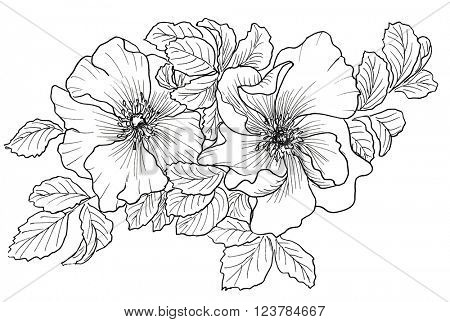 Briar. Wild rose isolated on white. Hand drawn illustration