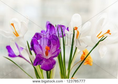 Crocuses on a white background. Crocuses on a white background