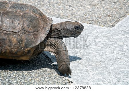 Determined Gopher Tortoise
