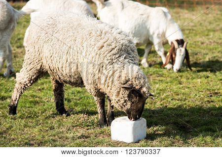 Lamb licking a block of salt with tongue visible and goat in the background