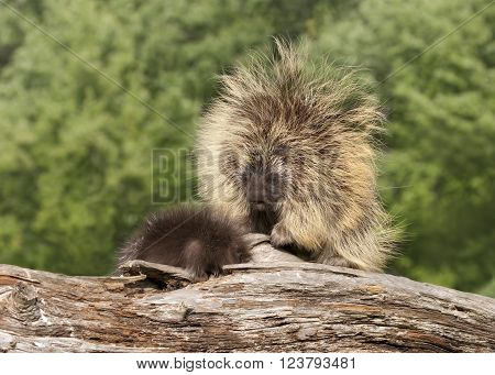 Porcupine Mom and Baby on a log ** Note: Soft Focus at 100%, best at smaller sizes