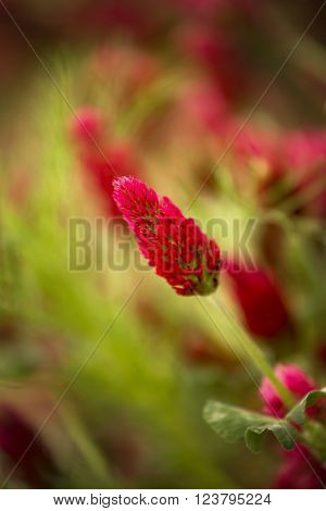 Flower of red trefoil in the green field ** Note: Shallow depth of field