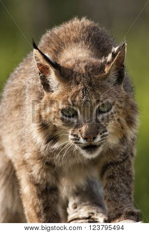 Bobcat Looking Directly into Camera with Intense Stare