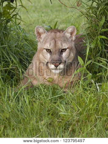 Cougar Partially Hidden by Tall Grass Quietly Watches