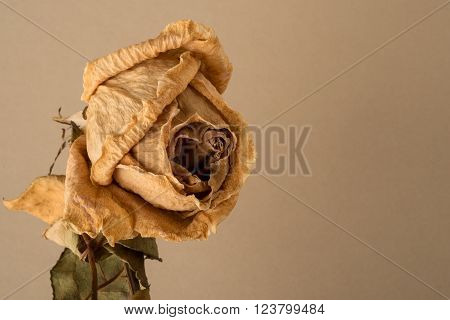 Dried Rose On Stem
