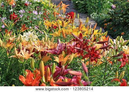 Lily Flowers (liliums) In The Garden In A Summer Time