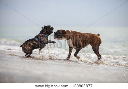French bulldog and boxer dog playing on the beach