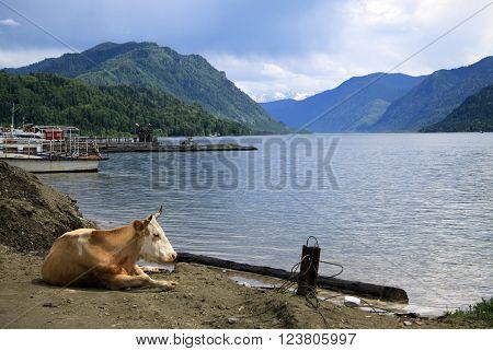 Altai, Russia - June 13, 2013: Cow Lying On The Shore Of Teletskoye Lake