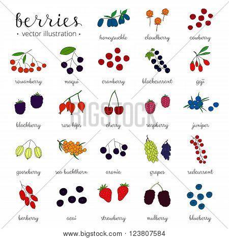 Hand drawn berries isolated on white background. Strawberry, goji, sea buckthorn, cherry, raspberry, barberry, mulberry, gooseberry, juniper, aronia, rose hips, honeysuckle, cloudberry, maqui.