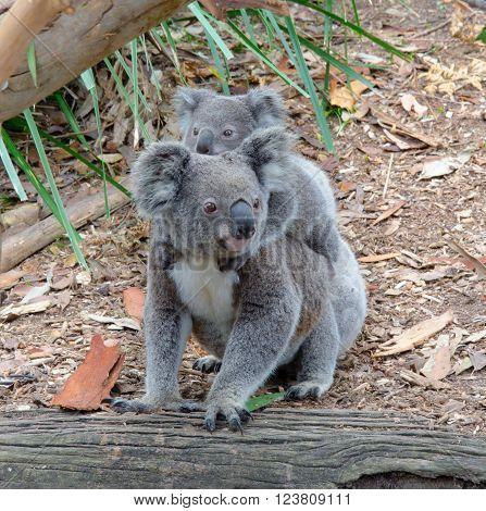 Koala and baby Koala on the ground