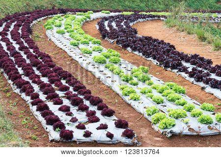Fresh vegetable garden in the organic farm of Thailand.