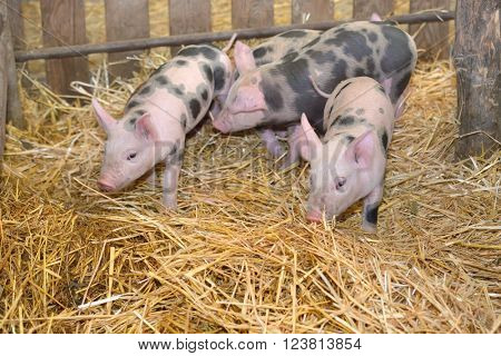 Group of little pigs at farm