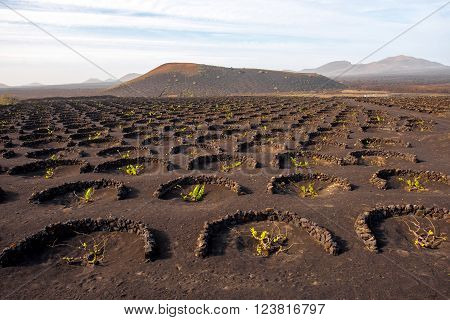 Volcanic vineyard with mountains on the background on Lanzarote island in Spain