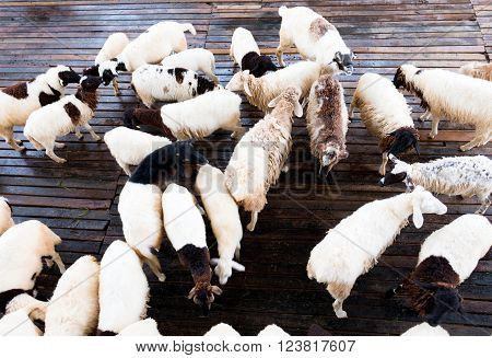 top view many sheep in stable for farming