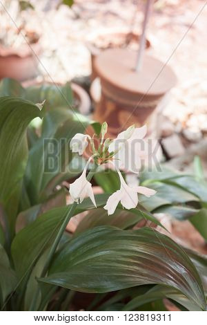 White Hippeastrum flower with green leaves, stock photo