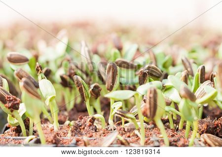 Sunflower seeds sprout in organic farm, stock photo