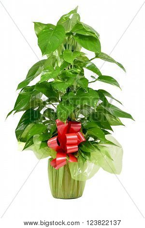 a gift-wrapped Epipremnum aureum plant with a red ribbon on a white background