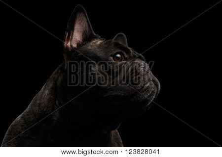 Close-up French Bulldog Dog like Monster in Profile view Isolated on black background
