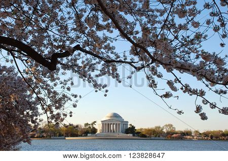 Jefferson Memorial Early Morning in Washington D.C. during the spring cherry blossom festival