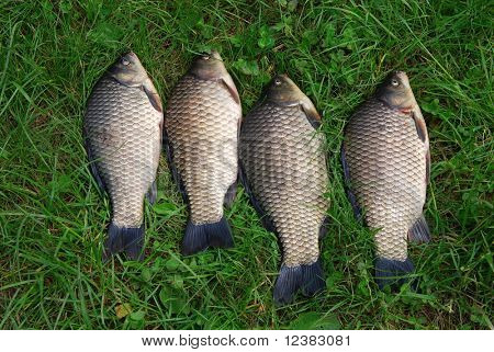 The four crucian carp (Carassius carassius) lying on the grass