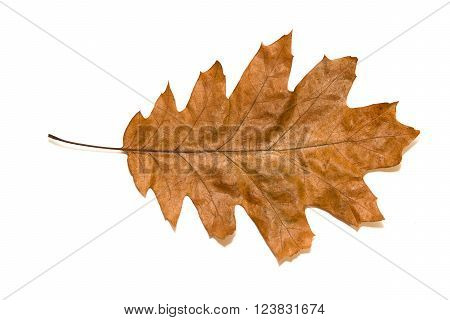 Dry autumn oak leaf on a over white