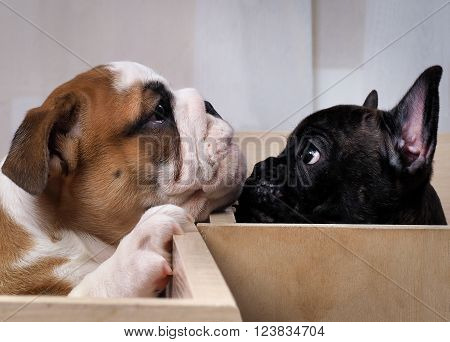 Communication puppies. Puppy french bulldog puppy looking at the English bulldog. Different breeds of dogs, different puppies