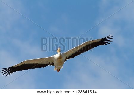 great pelican flying towards the camera over blue sky ( Pelecanus onocrotalus )