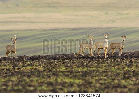 herd of roe deers foraging for food on agricultural field ( Capreolus capreolus ); image taken in early spring