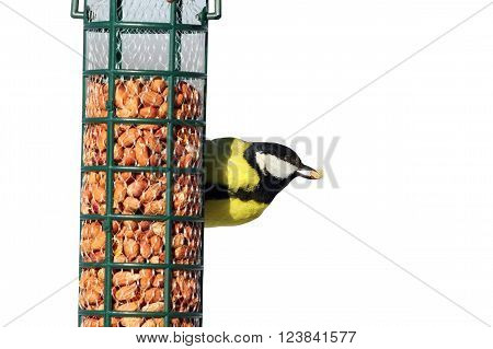 isolated great tit eating nut from garden bird feeder ( Parus major )