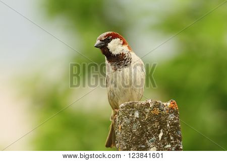 male house sparrow over green out of focus background ( Passer domesticus ) pearched on cement pillar