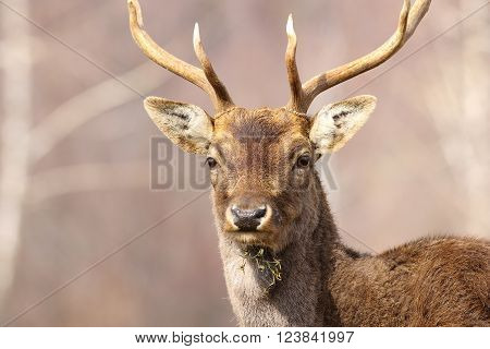 portrait of a fallow deer stag ( Dama dama male )