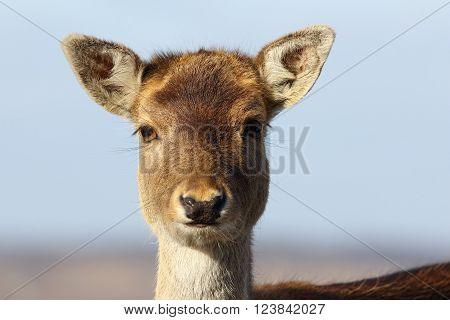 portrait of fallow deer hind over sky looking at the camera