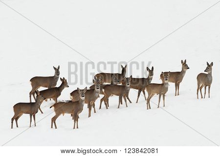herd of roe deers on white snow ( Capreolus capreolus )