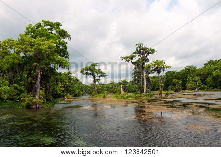 Swamp cypress trees with hanging spanish moss in Wakulla River Florida USA