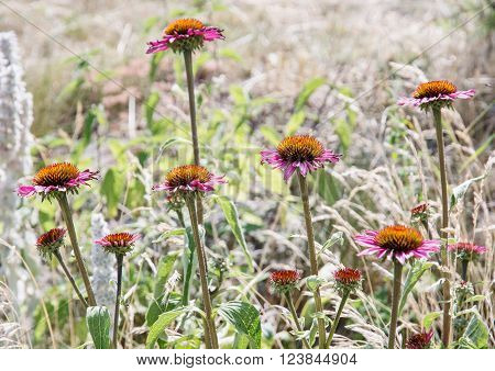 Beautiful Echinacea flowers - purple coneflowers. Natural scene.
