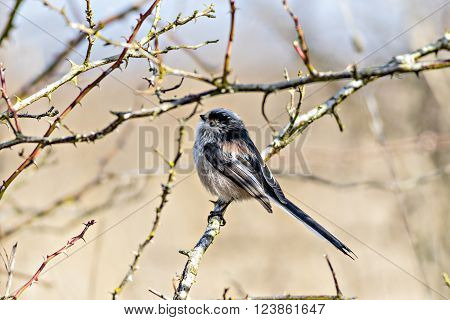 Close up of a single Long Tailed Tit (Aegithalos caudatus) perching in a bush in winter