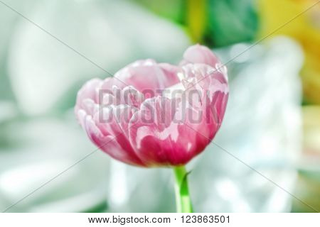 One nice flower of tulip in purple tones