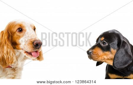 Portrait of a Russian Spaniel and puppy breed Slovakian Hound, closeup, isolated on white background