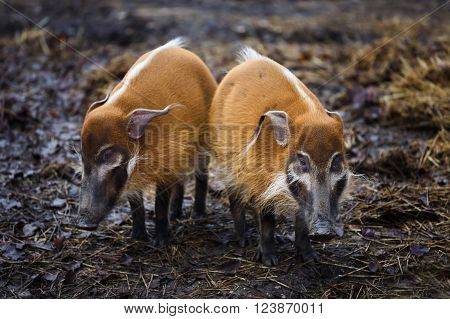 Two red boars standing in the mud