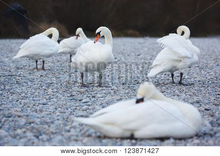 Swans on the pebbles at autumn time