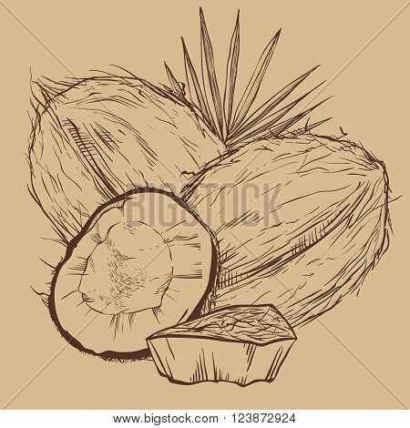Coconut vector isolated on white background. Engraved vector illustration of leaves and nuts of coconut. Coconut in vitage style.