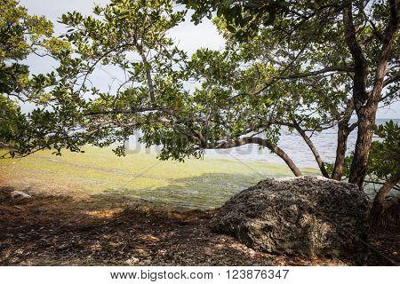Mangrove trees and old coral on ocean shore at Florida Keys