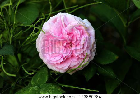 English tea pink rose flower. English tea pink rose flower in the greenery. Gardening tea roses. Solo pink rose in the garden.